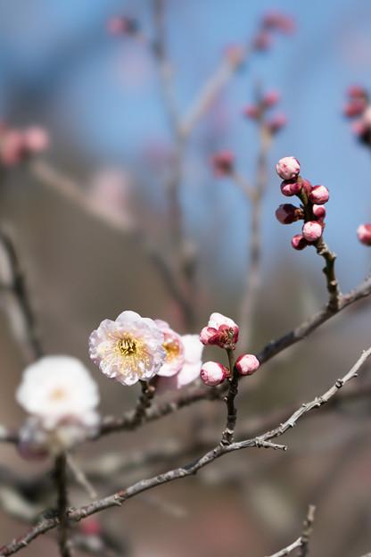 63小田原フラワーガーデン【梅:花香美】2