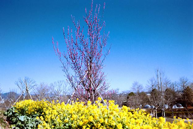 09花菜ガーデン【菜の花畑】1銀塩NLP