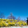 10花菜ガーデン【菜の花畑】2銀塩NLP