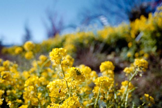 12花菜ガーデン【菜の花畑】4銀塩NLP