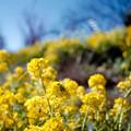 Photos: 12花菜ガーデン【菜の花畑】4銀塩NLP