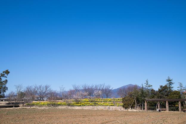 04花菜ガーデン【大山と菜の花畑】