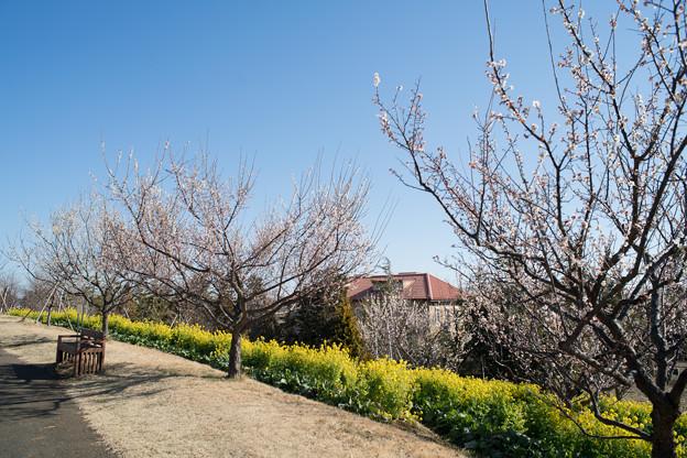 05花菜ガーデン【梅の木と菜の花畑】