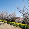 Photos: 05花菜ガーデン【梅の木と菜の花畑】