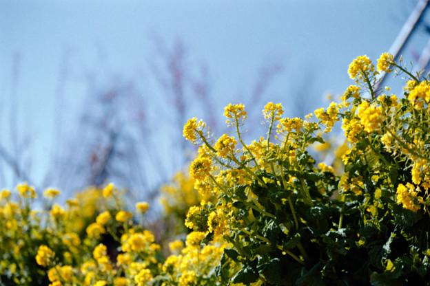 11花菜ガーデン【菜の花畑】3銀塩NLP