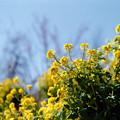 Photos: 11花菜ガーデン【菜の花畑】3銀塩NLP