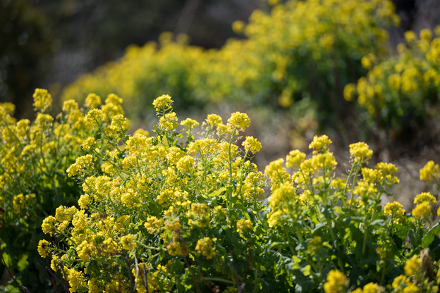 13花菜ガーデン【菜の花畑】5