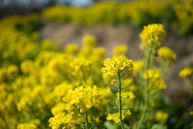 Photos: 14花菜ガーデン【菜の花畑】6