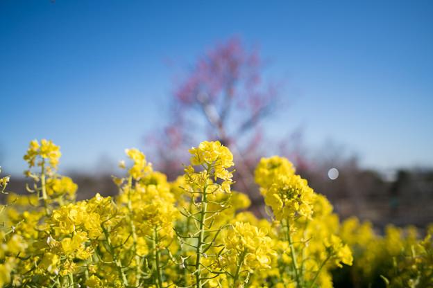 15花菜ガーデン【菜の花畑】7