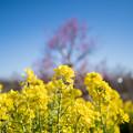 Photos: 15花菜ガーデン【菜の花畑】7