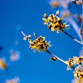 17花菜ガーデン【マンサク:ブレビペタラ】2銀塩NLP