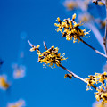 Photos: 17花菜ガーデン【マンサク:ブレビペタラ】2銀塩NLP