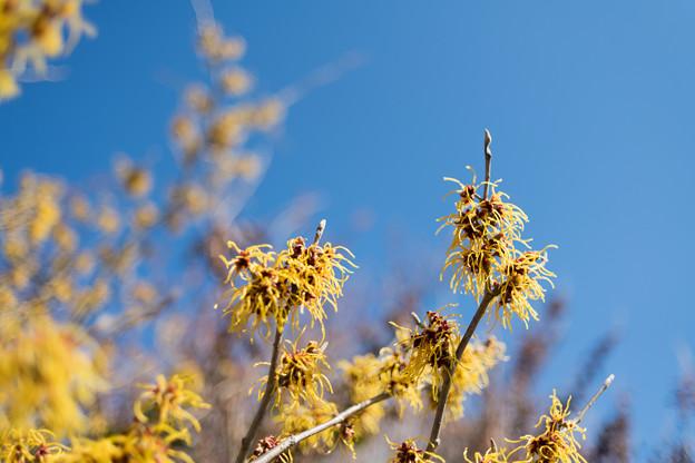 18花菜ガーデン【マンサク:ブレビペタラ】3