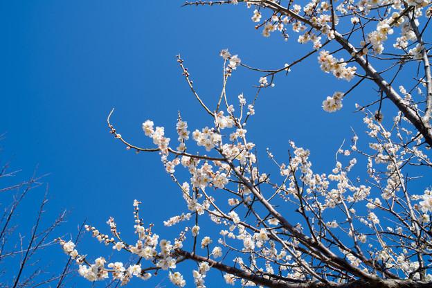 Photos: 25花菜ガーデン【梅:甲州最小】3