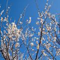Photos: 24花菜ガーデン【梅:甲州最小】2