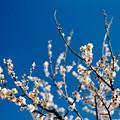 Photos: 26花菜ガーデン【梅:甲州最小】4銀塩NLP