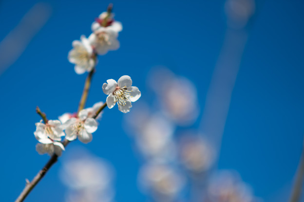 Photos: 28花菜ガーデン【梅:甲州最小】6