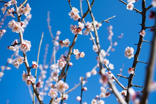 29花菜ガーデン【梅:鶯宿】1
