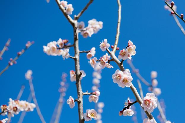 30花菜ガーデン【梅:鶯宿】2