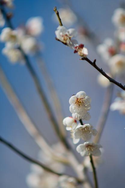 27花菜ガーデン【梅:甲州最小】5
