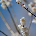 Photos: 27花菜ガーデン【梅:甲州最小】5