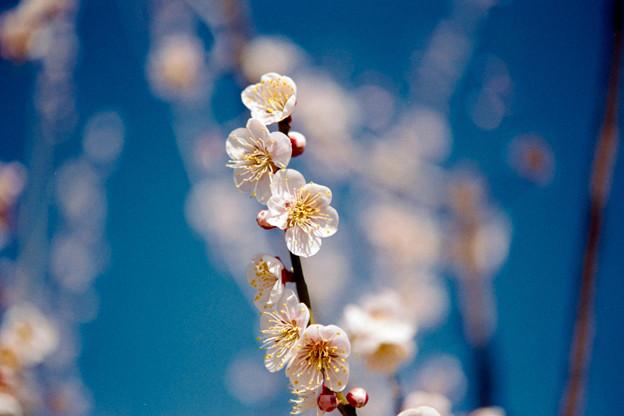 Photos: 32花菜ガーデン【梅:鶯宿】4銀塩NLP
