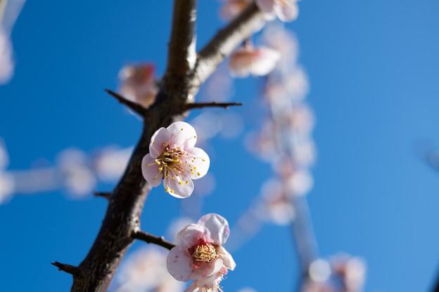 33花菜ガーデン【梅:鶯宿】5