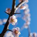 Photos: 33花菜ガーデン【梅:鶯宿】5