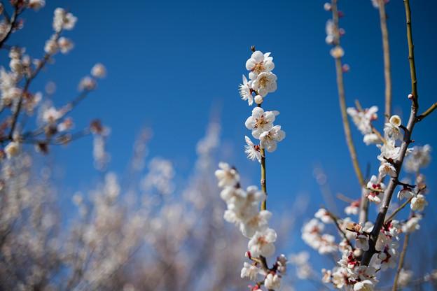 35花菜ガーデン【梅:十郎】2