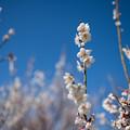 Photos: 35花菜ガーデン【梅:十郎】2