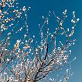 36花菜ガーデン【梅:十郎】3銀塩NLP