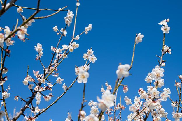 37花菜ガーデン【梅:十郎】4