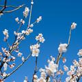 Photos: 37花菜ガーデン【梅:十郎】4