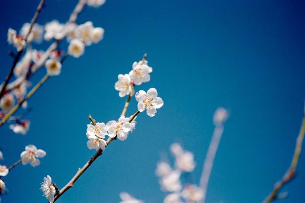 Photos: 38花菜ガーデン【梅:十郎】5銀塩NLP