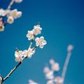 38花菜ガーデン【梅:十郎】5銀塩NLP