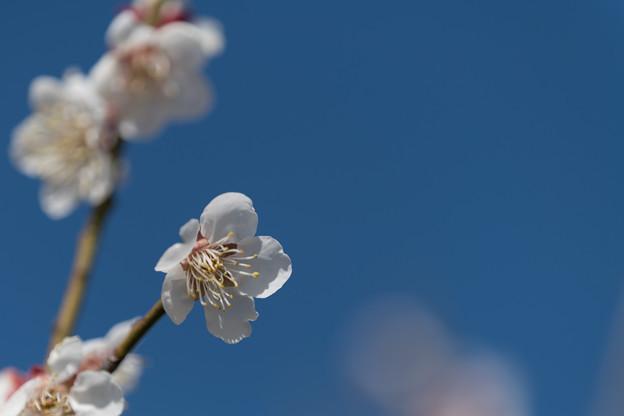 39花菜ガーデン【梅:十郎】6
