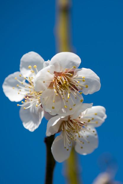 40花菜ガーデン【梅:十郎】7