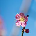 Photos: 42花菜ガーデン【梅:道知辺】2