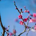 43花菜ガーデン【梅:紅千鳥】1