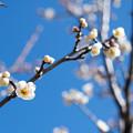 Photos: 45花菜ガーデン【梅:白加賀】1