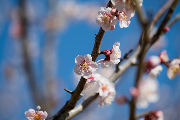 31花菜ガーデン【梅:鶯宿】3