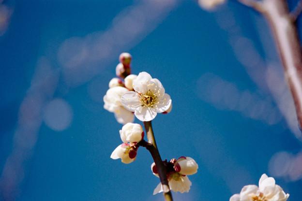 46花菜ガーデン【梅:白加賀】2銀塩NLP