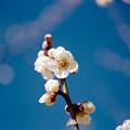 Photos: 46花菜ガーデン【梅:白加賀】2銀塩NLP