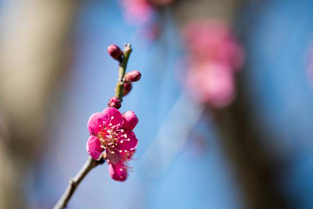 44花菜ガーデン【梅:紅千鳥】2