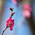 Photos: 44花菜ガーデン【梅:紅千鳥】2
