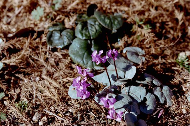 53花菜ガーデン【原種シクラメン:コウム】銀塩NLP