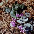 Photos: 53花菜ガーデン【原種シクラメン:コウム】銀塩NLP