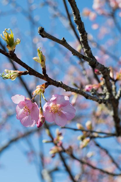 55花菜ガーデン【河津桜】