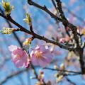 Photos: 55花菜ガーデン【河津桜】