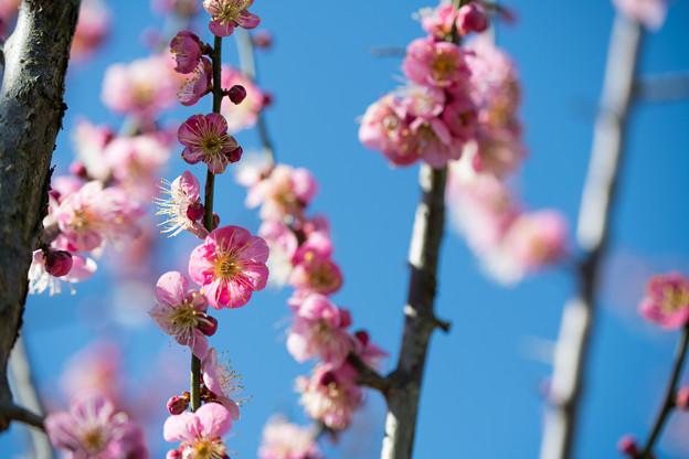 41花菜ガーデン【梅:道知辺】1